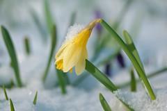 Daffodils in the Park (pallab seth) Tags: macro dof spring flower barking park england london signofspring bokeh nature daffodil garden springgarden barkingpark yellow blue 2017 samsung60mmf28macroedoisssalens samsungnx1 snow ice
