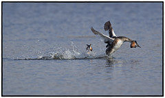 Great Crested Grebe (CliveDodd) Tags: cristatus podiceps great crested grebe
