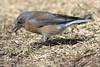20180227_HuntingtonBeachLibraryPark_M10A5250-1 WesternBluebird (Martine Yen) Tags: huntingtonbeachlibrarypark westernbluebird