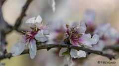 Almond tree (Vitorlandophotographs) Tags: almondtree apulia puglia valenzano nature lovenature wildnature wild flowers tree