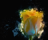 Frozen destruction HSS (Wim van Bezouw) Tags: rose flower sony ilce7m2 frozen photoshop