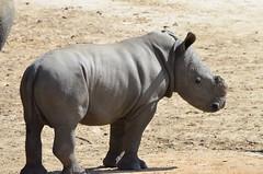DSC_4686 (Andrew Nakamura) Tags: animal mammal rhino rhinoceros southernwhiterhino whiterhino whiterhinoceros rhinocalf sandiegozoosafaripark safaripark escondido