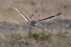 DSC_1286 (Leechy8) Tags: seo shortearedowl owl hunting burton burtonwetlands burtonmarsh birdofprey bif birdinflight bird