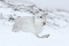 Sitting tight (blootoonloon1( No to Badger Cull)) Tags: winter white snow colours animal nature wildlife scotland highlands cairngorms hare mountains mountainhare paw fur