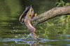 Topsy Turvy (gseloff) Tags: greenheron greenie bird feeding fishing wildlife animal nature water splash bayou horsepenbayou pasadena texas kayak gseloff