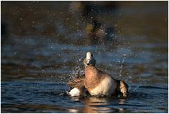 Shaking it All Over (westcoastcaptures) Tags: sonya99ii minoltaaf400f45hsg duck bird waterbird splash waterdrops lowsun contortionist workout shaking