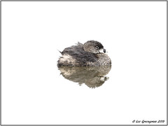 Tranquility (pandatub) Tags: ebparks ebparksok bird birds grebe piebilledgrebe ch coyotehills