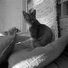 peter (kaumpphoto) Tags: rolleiflex 120 tlr bw monochrome ilford bed pillow throw weave ears eyes fur whiskers handsome feline animal domestic frame knottypine grain