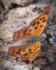 Question mark butterfly (jim_mcculloch) Tags: d852226 butterflies lepidoptera