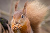 Lunch Time (Paul A Wiles) Tags: brownseaisland sciurus vulgaris red squirrel pwiles1968