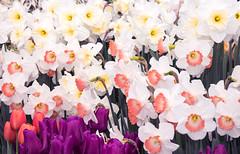 White Daffodil Collection (ksblack99) Tags: hiddenlakegardens tipton michigan white daffodil narcissus flowerbulb spring garden