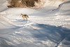 Safe Getaway (Susan.Johnston) Tags: calgary heritagepark coyote alberta