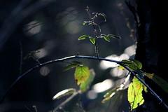 Turchino (lincerosso) Tags: piante rovo rovoturchino rubusulmifolius luce inverno vallevecchia bellezza armonia