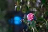 Nikon Nikkor 35mm f/ 1.4 - DSCF4966DSCF5671 (::Lens a Lot::) Tags: nikon nikkor 35mm f 14 1977 | 9 blades aperture paris 2018 bokeh depth field color vintage manual classic japanese fixed length prime lens profondeur de champ flower close up macro yellow purpple extérieur wideopen wide open fleur