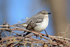 Northern Mockingbird (JDA-Wildlife) Tags: birds nikon nikond7100 tamronsp150600mmf563divc jdawildlife johnny northernmockingbird mockingbird portrait closeup eyecontact whatbirdbestofday