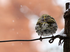 csíz visszája  / backside of siskin (debreczeniemoke) Tags: tél winter kert garden madár bird csíz him siskin male eurasiansiskin europeansiskin commonsiskin tarindesaulnes erlenzeisig zeisig lucherinoeurasiatico scatiu carduelisspinus pintyfélék fringillidae olympusem5
