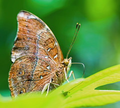 Glittering Wings (dianne_stankiewicz) Tags: sparkle sun butterfly glittering wings texture nature pattern wildlife leaves leaf green bokeh