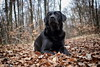 watchful (uwe.kast) Tags: labrador labradorretriever labradorredriver hund haustier dog wald forest laub bäume trees blätter canon canon750d ef2470