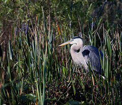 03-14-18-0007557 (Lake Worth) Tags: animal animals bird birds birdwatcher everglades southflorida feathers florida nature outdoor outdoors waterbirds wetlands wildlife wings