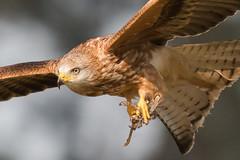 Red Kite Feb 2018 (jgsnow) Tags: bird raptor kite redkite closeup ngc