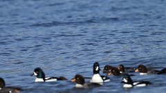 A raft of Barrow's Goldeneyes ... (bcbirdergirl) Tags: westvancouver bc video barrowsgoldeneye raft feedingfrenzy mussels bucephalaislandica seaducks drake hen females males diving duck divingduck