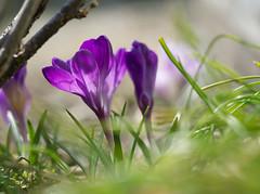 芽生え   Sprout (wakyakyamn) Tags: flower crocus spring olympus