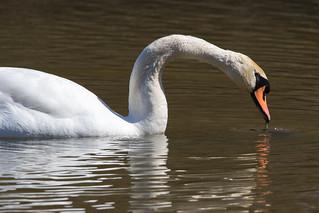 Mute Swan at John Heinz NWR-1