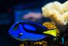 Paracanthurus hepatus- Cirujano Regal (carlosbenju) Tags: naturaleza nature pez fish fishaquarium yellow amarillo agua water sea mar acuario acuático colores colors coral coralreef arrecife