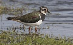 Lapwing (Vanellus vanellus). (Bob Eade) Tags: lapwing greenplover peewit plover kent elmley wader birds bird winter nature nikon wildlife avian