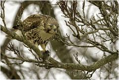 red-tailed hawk (Christian Hunold) Tags: redtailedhawk buteojamaicensis immatureredtail hawk rotschwanzbussard meadowvole valleyforge pennsylvania christianhunold