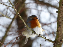 look at me (lesleydugmore) Tags: robin orange white branch outside outdoors