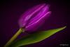 Purple tulip (Magda Banach) Tags: canon canon80d sigma150mmf28apomacrodghsm colors flora flower flowers macro nature plants purple purpletulip tulip