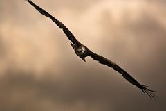 throgh the storm (jeff.white18) Tags: kite flight wings nature fly bird birdofprey flickr nikon
