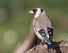 08 03 2018 (cathyk31) Tags: cardueliscarduelis chardonneretélégant europeangoldfinch fringillidés passériformes bird oiseau