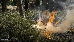 Fire (Vitorlandophotographs) Tags: puglia apulia plants nature lovenature wildnature fire countryside tree smoke valenzano