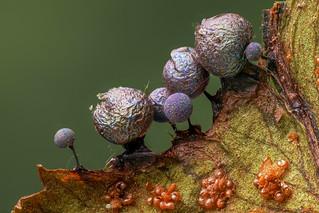 Lamproderma arcyrioides