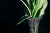 Detail of a vase with tulips (WillemijnB) Tags: stems vase crystal beauty black zwart noir