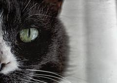 Beauty of The Beast (Vanessa wuz here) Tags: smileonsaturday 90mm cat closeup eyes caturday grey green white highkey vanessassweetspot copyrightvanessabartosek beautyofthebeast