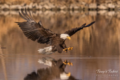 Bald Eagle makes the catch - 19 of 33