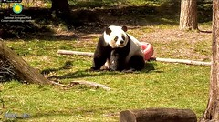 2018_03-10a (gkoo19681) Tags: meixiang beautifulmama sopretty proudmama adorableears fuzzywuzzy brighteyed sniffing precious majestic lovely royalty debonnaire posing perfection meltinghearts amazing ccncby nationalzoo