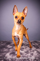 CRT-20180207_Sassy-2.JPG (Alfred Kirst) Tags: akiii photography alfred kirst iii iiikirstchihuahuarescueandtransportlonghairblondchihuahuamalechihuahuaak3 photographyalfred iiidogdogskatnisspaul c buffplano pet photographertexaschihuahuachihuahua rescue transportcute puppycutiefosterfoster doglong hair chihuahuaplanopuppiespuppyshort chihuahuazukepetszukesakiii iiialfred iiikirst chihuahuarescueandtransport longhairblondchihuahua malechihuahua ak3photography dog dogs katniss paulcbuff planopetphotographer texas chihuahua cutepuppy cutie foster fosterdog longhairchihuahua plano puppies puppy shorthairchihuahua zukepets zukes