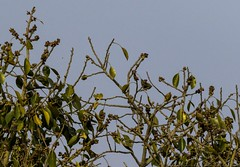 20180310-0I7A5548 (siddharthx) Tags: chandrampallygottamguttachincholiforestchincholinatureres chandrampalli karnataka india in orientalwhiteeye whiteeye amongsttheleaves intheshadows firstlight dawn sunrise firstrays goldenhour canon7dmkii ef100400mmf4556lisiiusm birdsofindia nature birdonabranch bird birdsinthewild gorgeousnature gorgeouscolors
