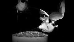 H.H.W17_Zü0000X_V2 (heidi-art) Tags: pigeon taube detail black white bw animal tier fliegen fly zürich see lake silber silver