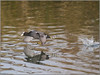 Focha común. (josemph) Tags: olympus e3 sigma 50500mm bigma aves rállidos fochacomún fulicaatra