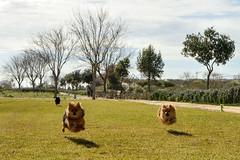 Flying balls .... ¿? (Raquel Borrrero) Tags: smileonsaturday beautyofthebeast dog park perro parque hierba animal campo paisaje cielo árbol nikon outside outdoor pet