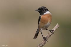 _SEN5109-E (Sento74) Tags: tarabillaeuropea saxicolatorquatus aves birds fauna nikond500 tamron150600g2