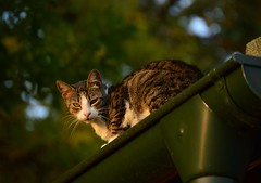 DSC_8073 (emina.knezevic) Tags: cats domesticcats blackcat streetcat catphotography catphotos animals nature streetcats animalphotography pet petphotography cat catroof