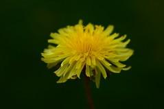 #Imperfection (kamirao) Tags: macromondays imperfection yellow flower macro bokeh dandelion