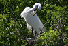 Green Eggs and .... Egrets? (River Wanderer) Tags: egrets nesting birds gatorland florida nikond7200 55300