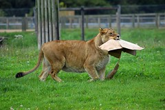 I'll tidey up then (dan487175) Tags: lioness lion box grass carrying inmouth mouth